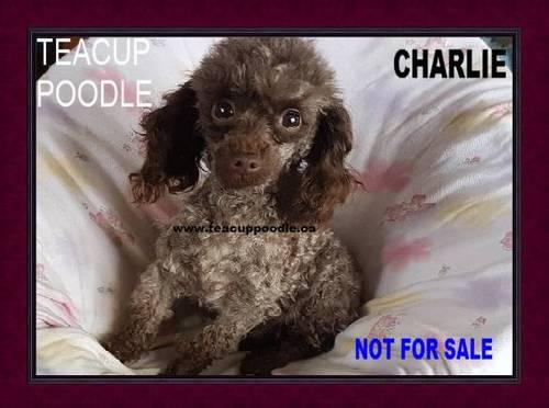 Teacup Poodle Puppies For Sale Teacup Poodle Teacup Poodles Tiny Toy