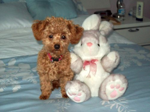 TEACUP POODLES PICTURES,HAPPY OWNERS'