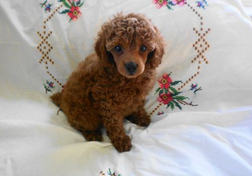 Teacup Poodles Pictureshappy Owners