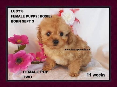 Teacup Poodle Puppies For Sale Teacup Poodle Teacup Poodles
