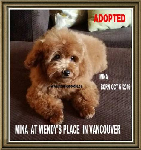 Teacup Poodle Puppies For Sale Teacup Poodle Teacup Poodles